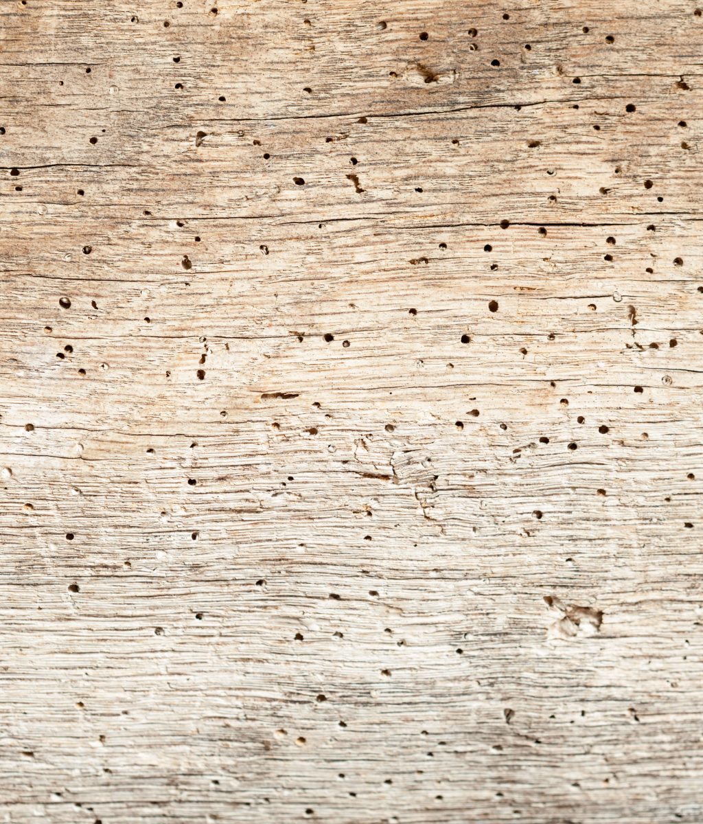 woodworm pic 3